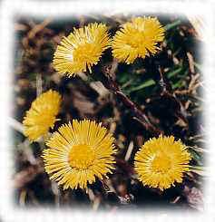 Blog-note : 28 mars : journée de printemps dans A retenir tussilage1